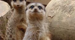 Rogan & Gibby Meerkats