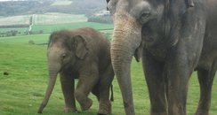 Whipsnade Elephants