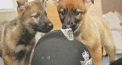 New police dogs at Cheshire Police