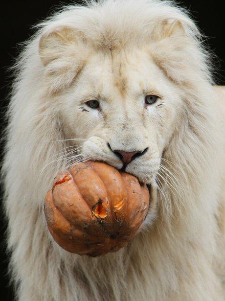 A lion eats a pumpkin in Holland.