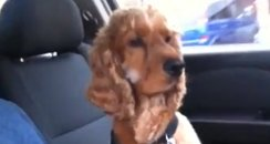 Cocker Spaniel and owner holding hands in the car