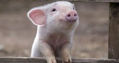 a smiling piglet
