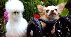 A fluffy chicken and a two-legged dog