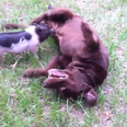 Micro Pig playing with a brown labrador