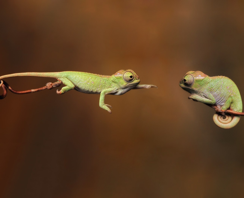 A chameleon reaching for another chameleon