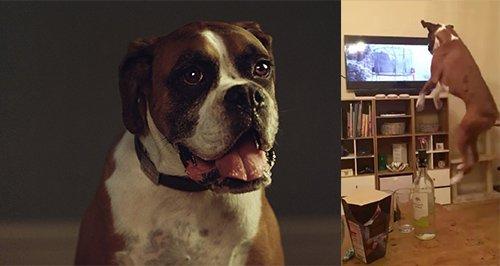 Dog John Leis Ad Reaction